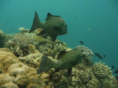 UFO (unidentified fish object), Great Barrier Reef
