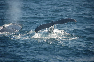 Whales outside Sydney Harbour